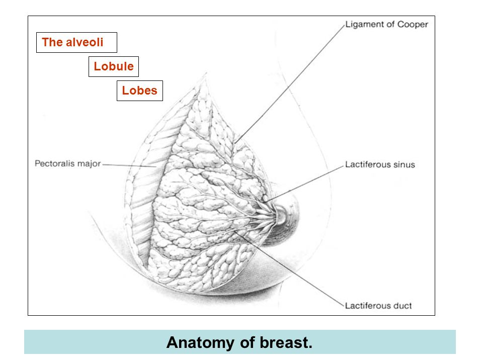 anatomy of the breast The importance of lymphatic drainage of the breast and of the anatomy of the axillary and internal thoracic lymph nodes is self-evident the axillary lymph nodes vary in number from 20 to 30 and are divided into five not wholly distinctive anatomical groups ( figure 3 .