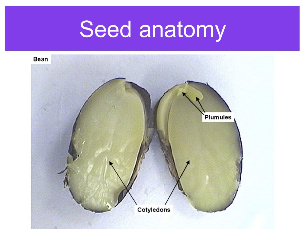 Anatomy Of A Seed - the anatomy of a flower