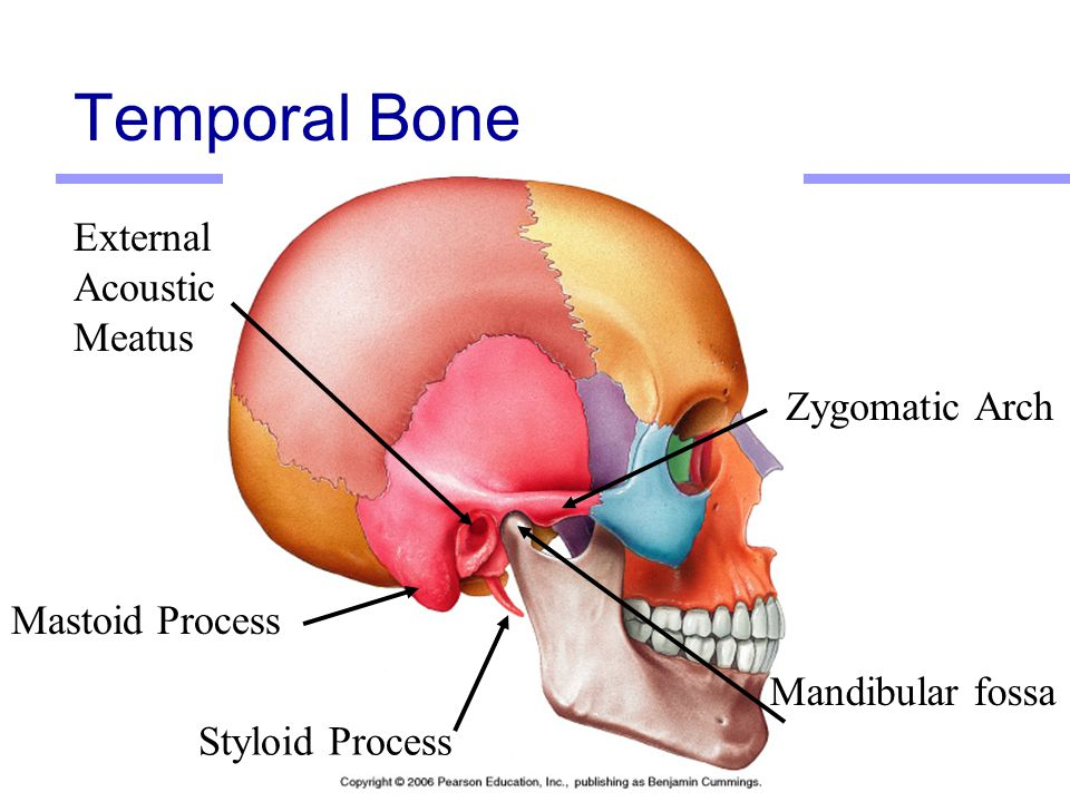Excelente Mastoid Bone Picture Viñeta - Anatomía de Las Imágenesdel ...