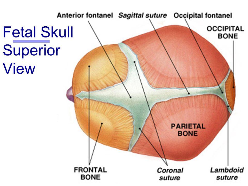 Fetal Skull Superior View 4710 Loadtve