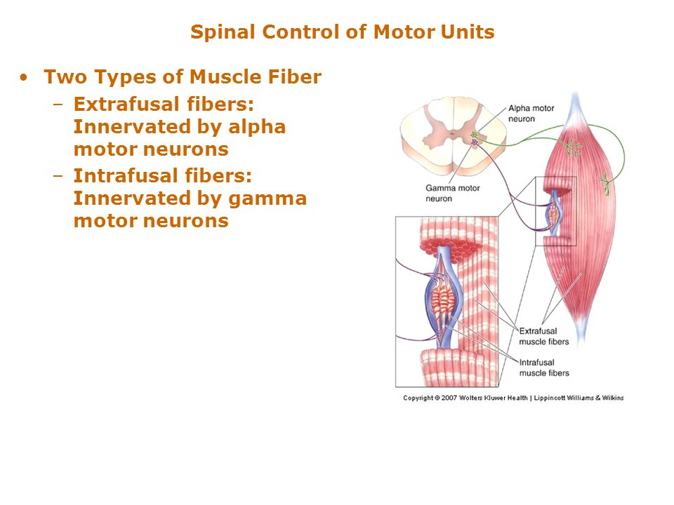 Chapter 13 Spinal Control Of Movement Ppt Video Online