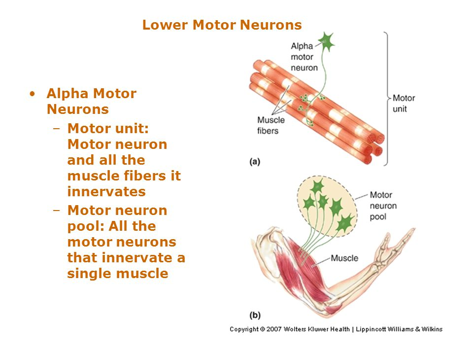 Niedlich Neuron Anatomy And Physiology Review Sheet Exercise 13 ...