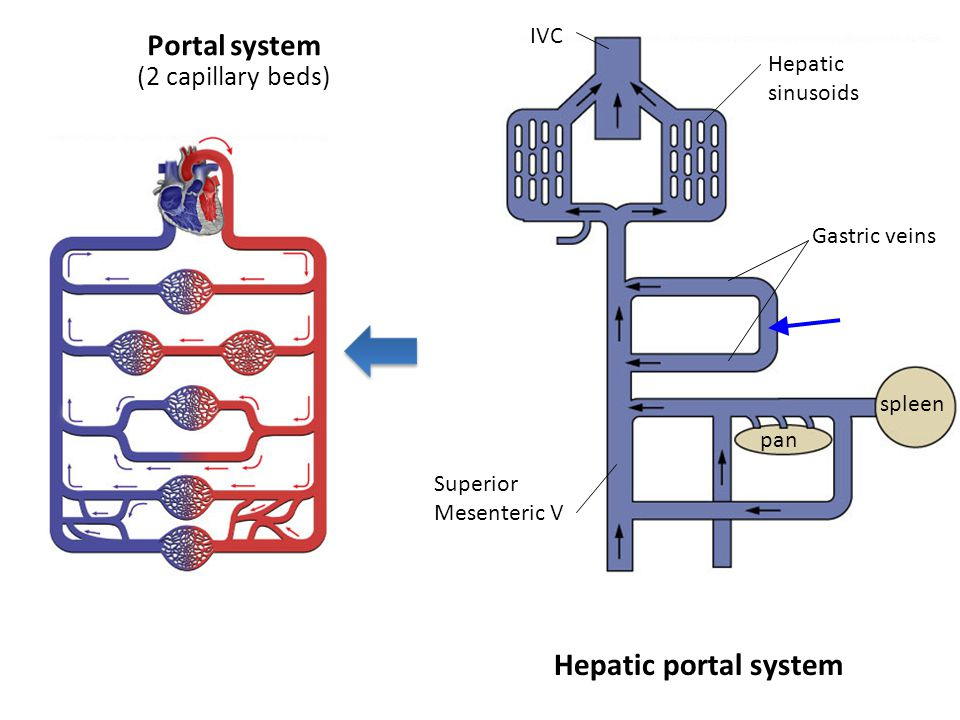 Blood vessels basic vessel anatomy maintaining constant for Hepatic portal v