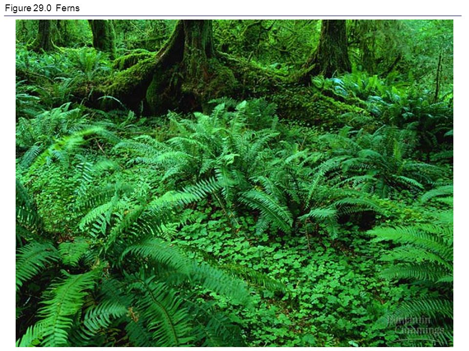 Figure 29.0 Ferns