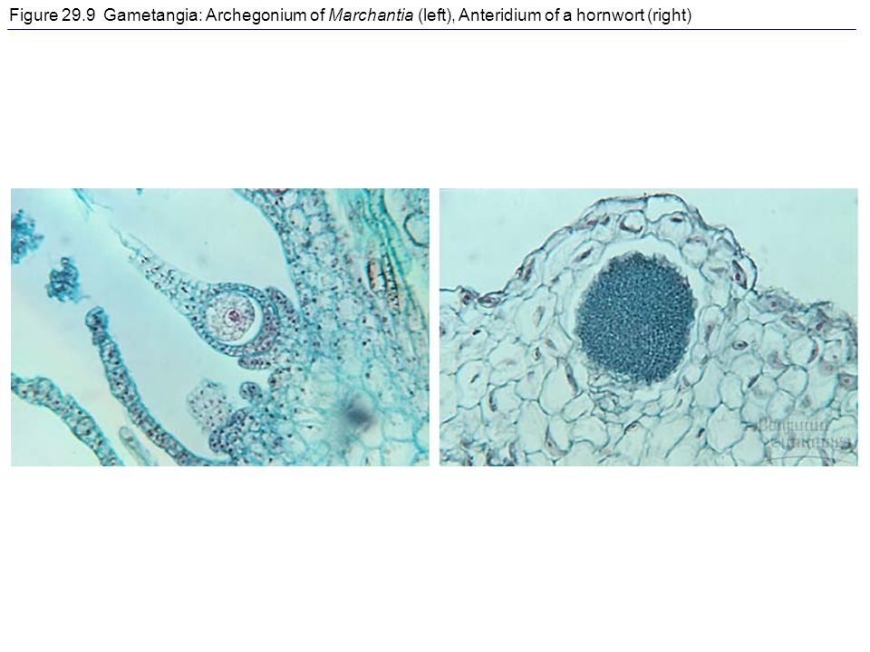 Figure 29.9 Gametangia: Archegonium of Marchantia (left), Anteridium of a hornwort (right)