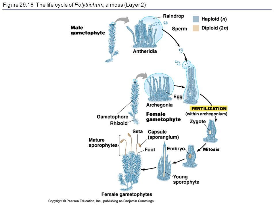 Figure The life cycle of Polytrichum, a moss (Layer 2)