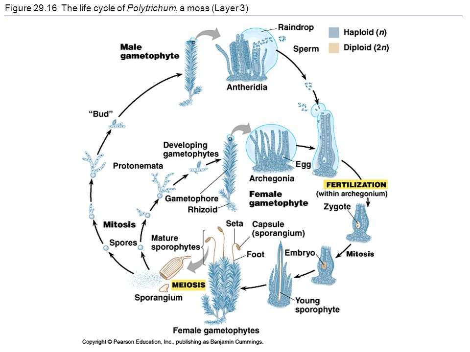 Figure The life cycle of Polytrichum, a moss (Layer 3)