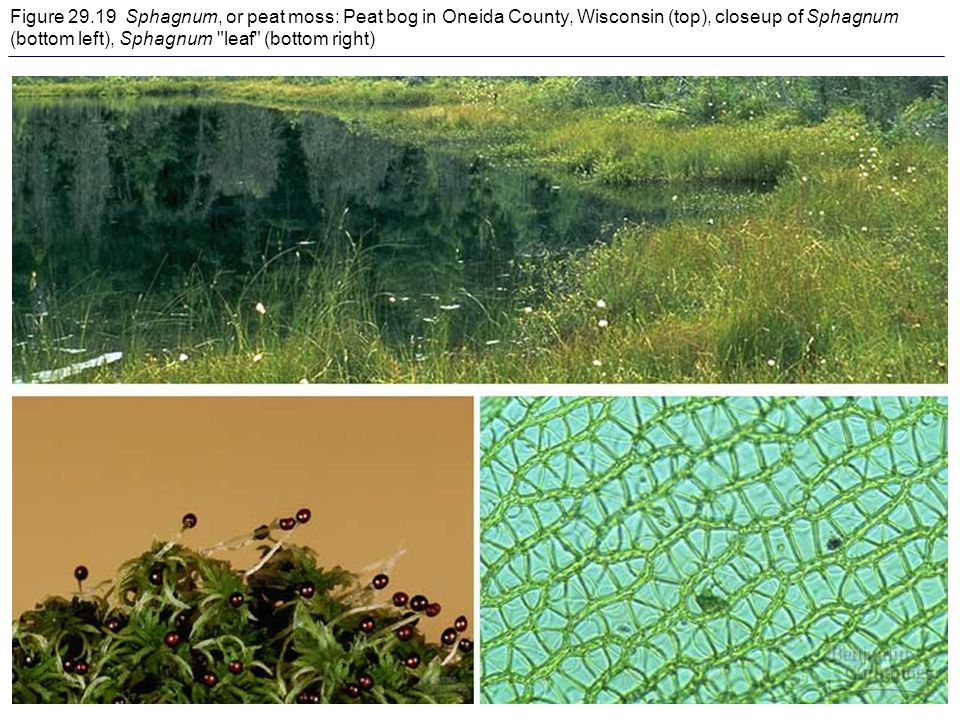 Figure Sphagnum, or peat moss: Peat bog in Oneida County, Wisconsin (top), closeup of Sphagnum (bottom left), Sphagnum leaf (bottom right)