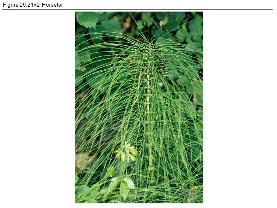 Figure 29.21x2 Horsetail
