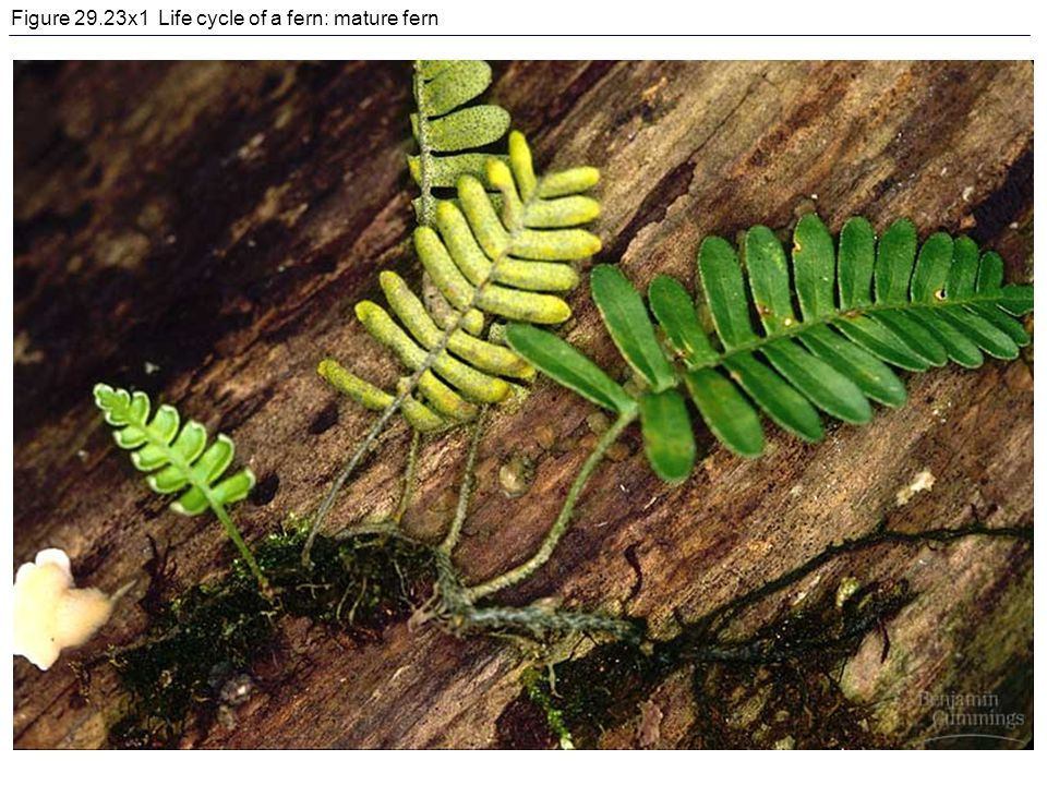 Figure 29.23x1 Life cycle of a fern: mature fern