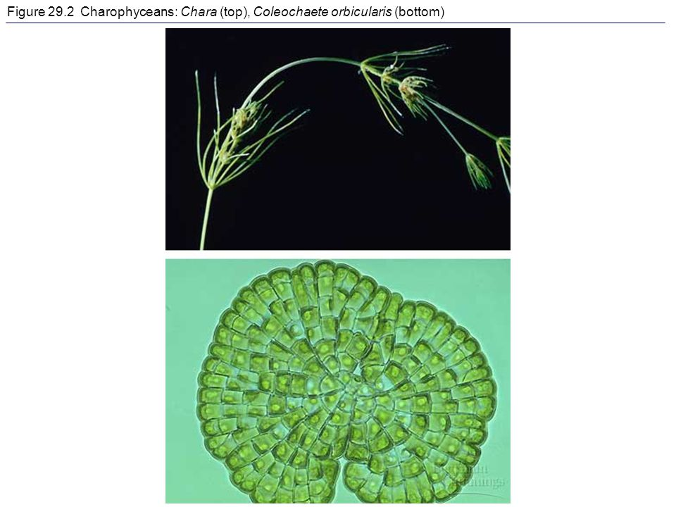 Figure 29.2 Charophyceans: Chara (top), Coleochaete orbicularis (bottom)