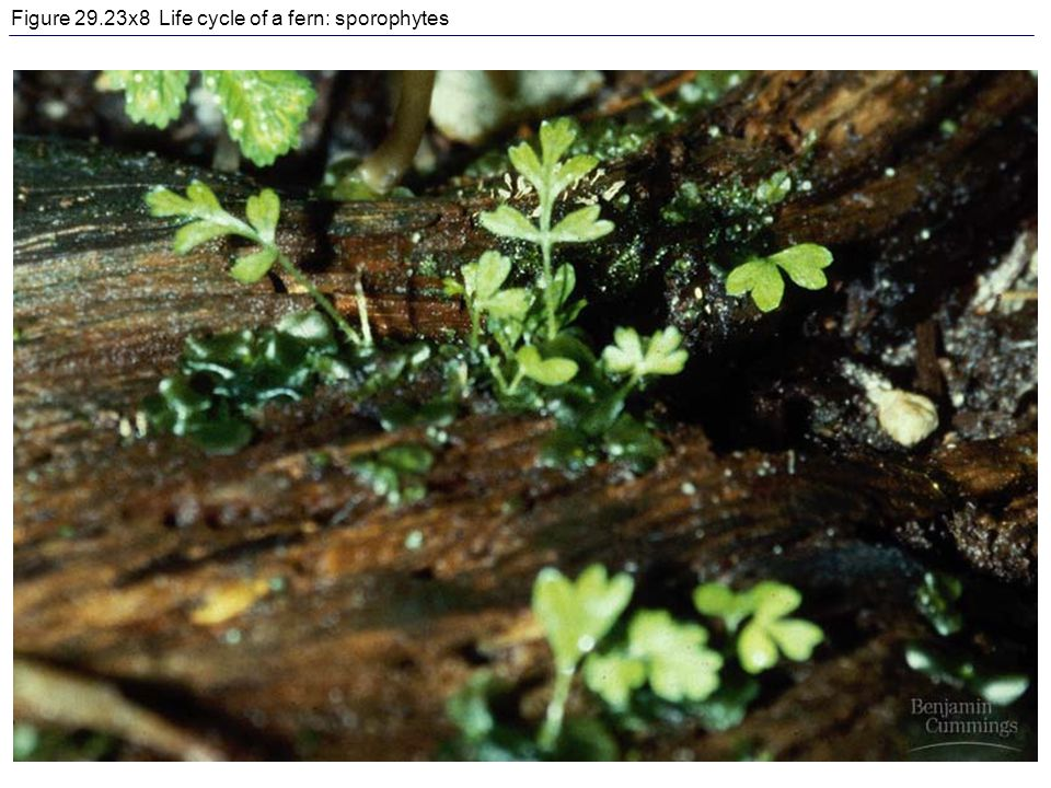 Figure 29.23x8 Life cycle of a fern: sporophytes