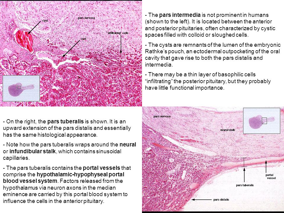 endocrine anatomy-histology correlate - ppt video online download, Human Body