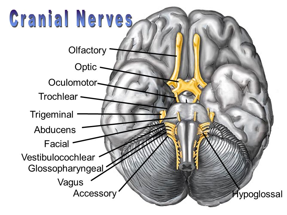 Cranial Nerves Olfactory Optic Oculomotor Trochlear Trigeminal