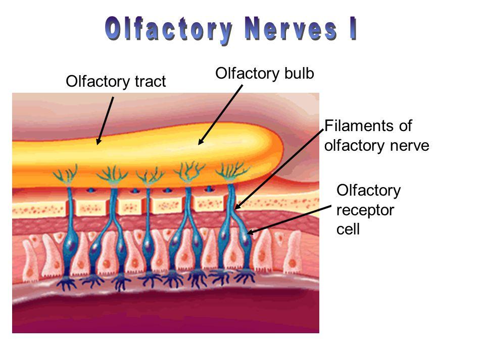 Olfactory Nerves I Olfactory bulb Olfactory tract