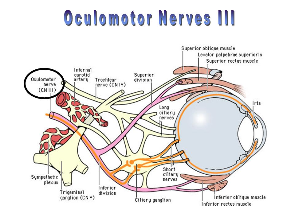 Oculomotor Nerves III