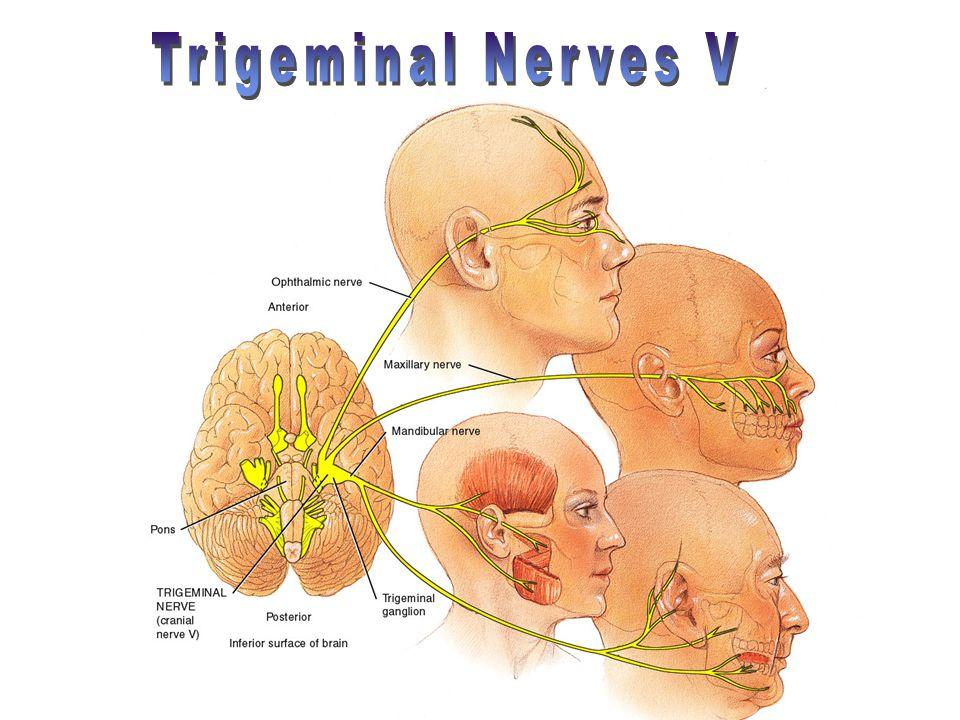 Trigeminal Nerves V