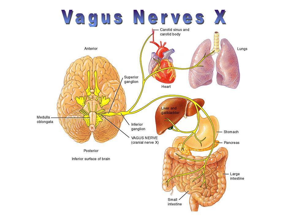 Vagus Nerves X