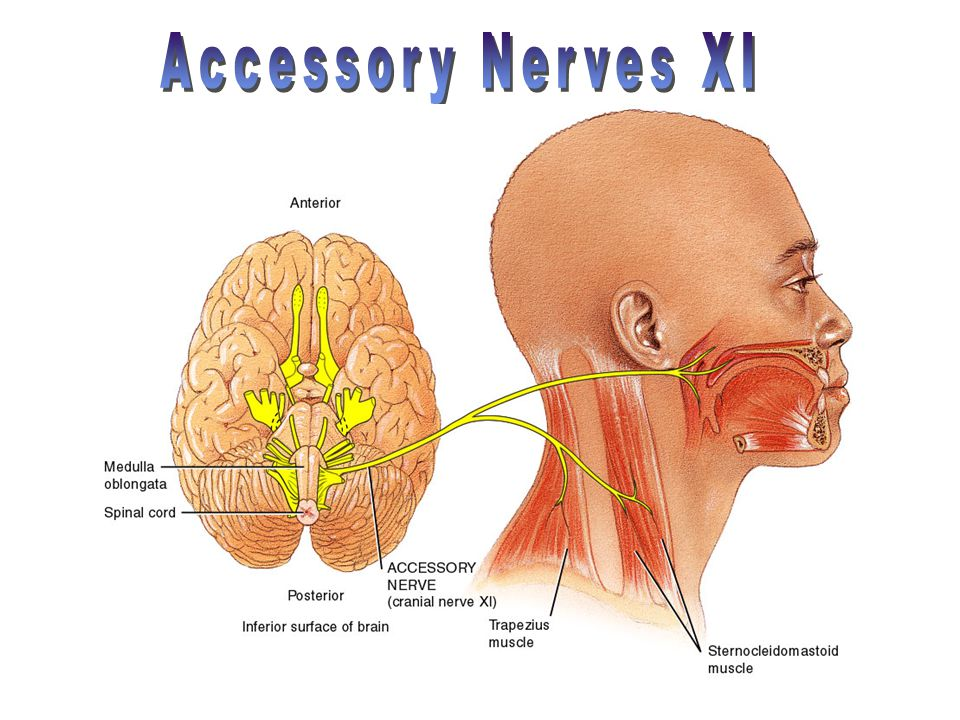 Accessory Nerves XI