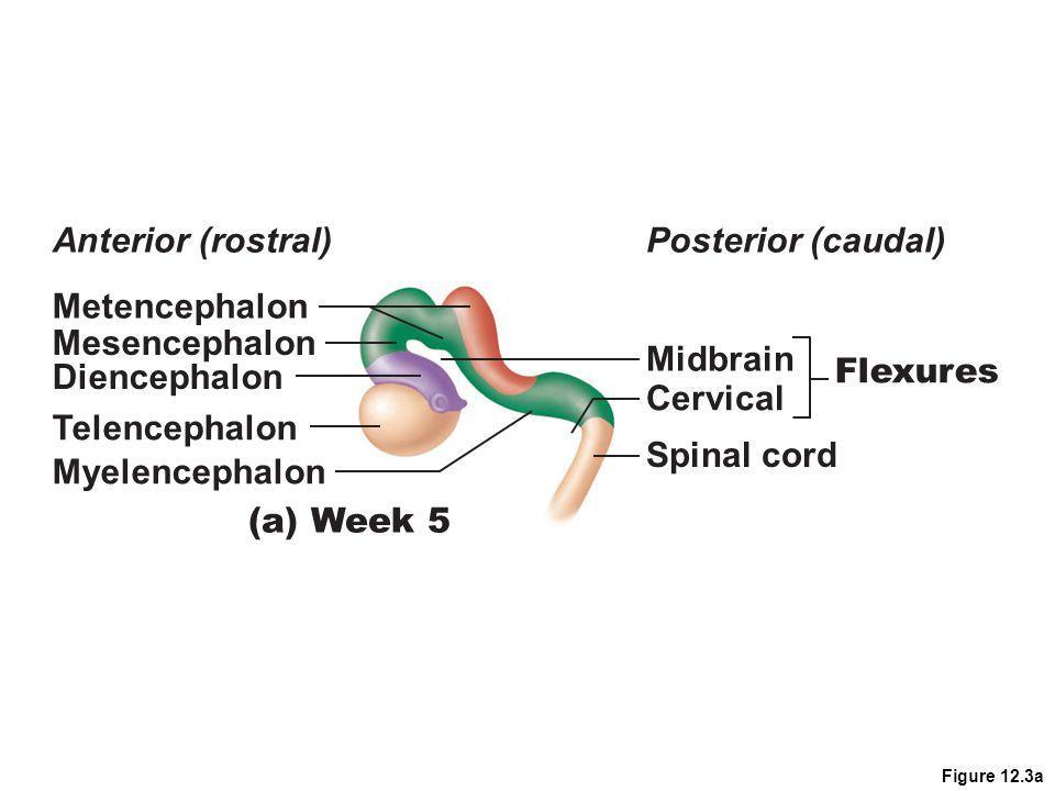 Anterior (rostral) Posterior (caudal) Metencephalon Mesencephalon