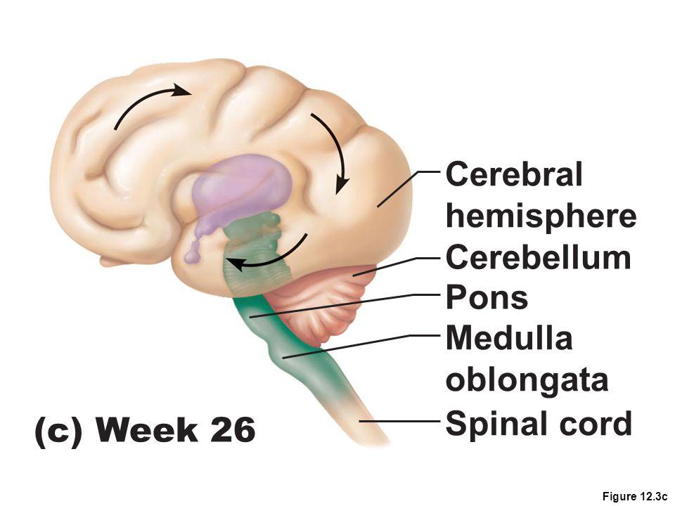 Cerebral hemisphere Cerebellum Pons Medulla oblongata Spinal cord