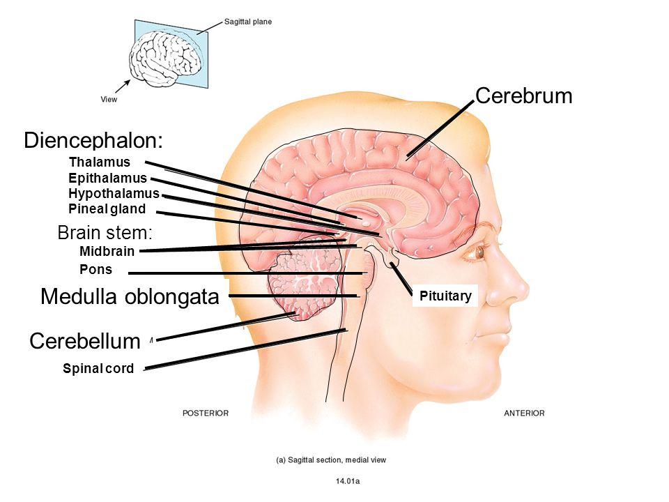 Cerebrum Diencephalon: Medulla oblongata Cerebellum Brain stem: