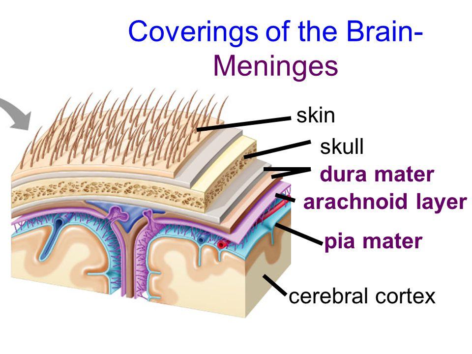 Coverings of the Brain- Meninges