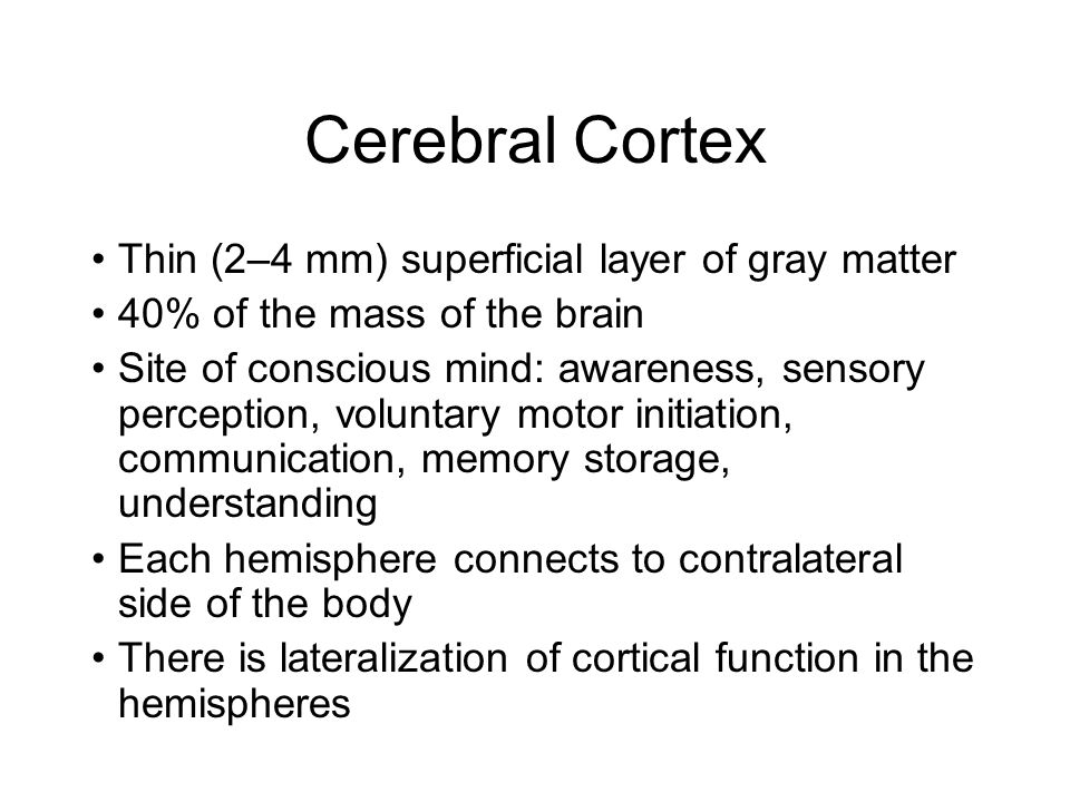 Cerebral Cortex Thin (2–4 mm) superficial layer of gray matter