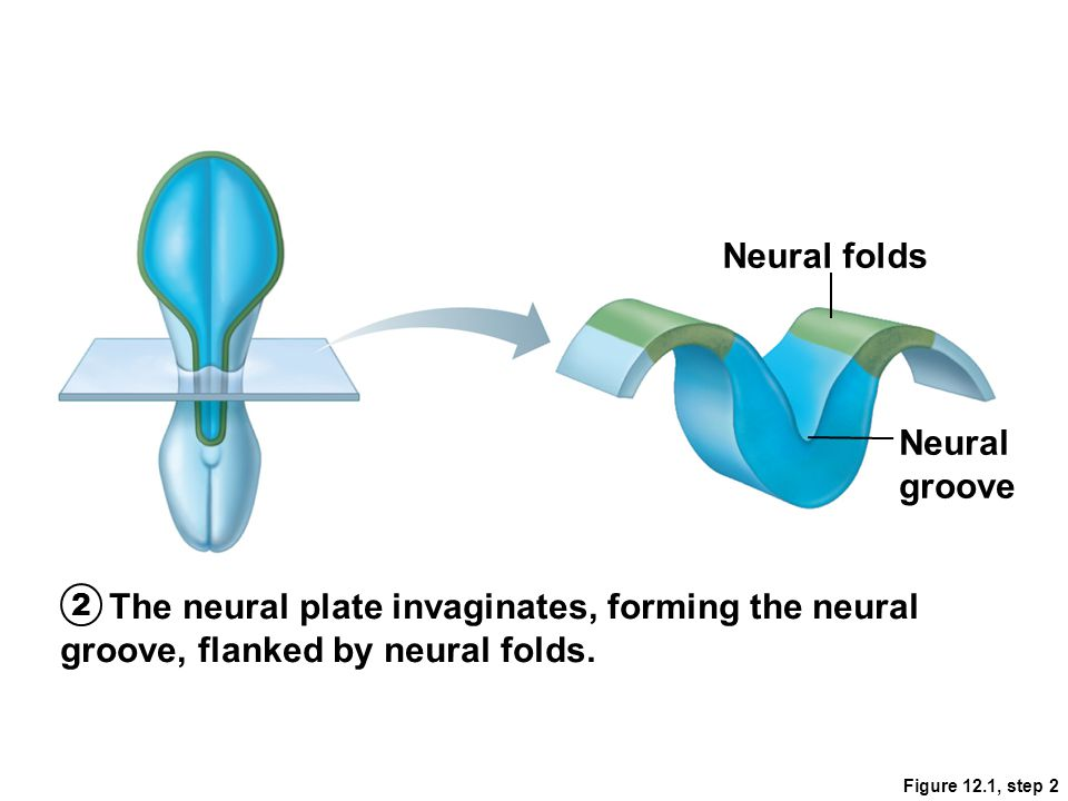 Neural folds Neural groove