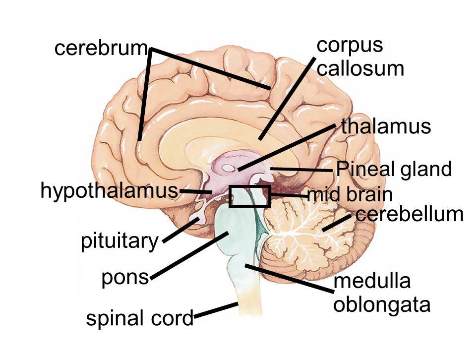 corpus callosum cerebrum thalamus hypothalamus cerebellum pituitary