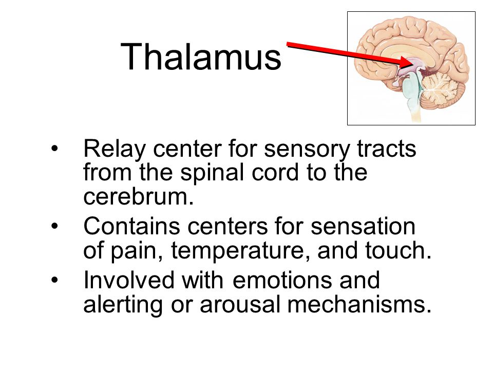 Thalamus Relay center for sensory tracts from the spinal cord to the cerebrum. Contains centers for sensation of pain, temperature, and touch.