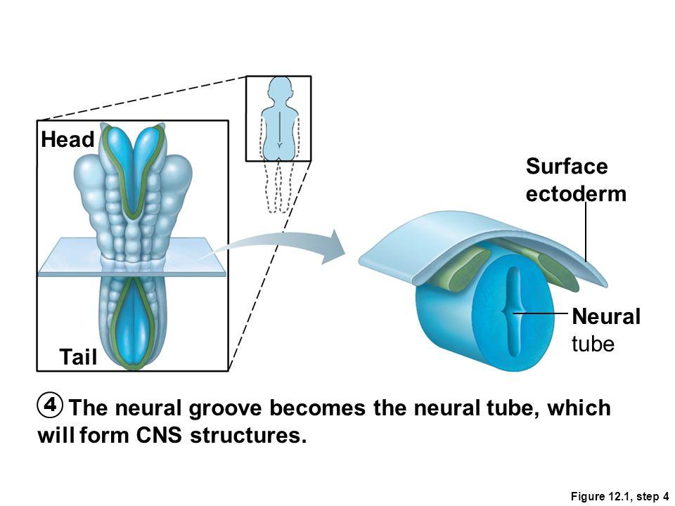 Head Surface ectoderm Neural tube Tail