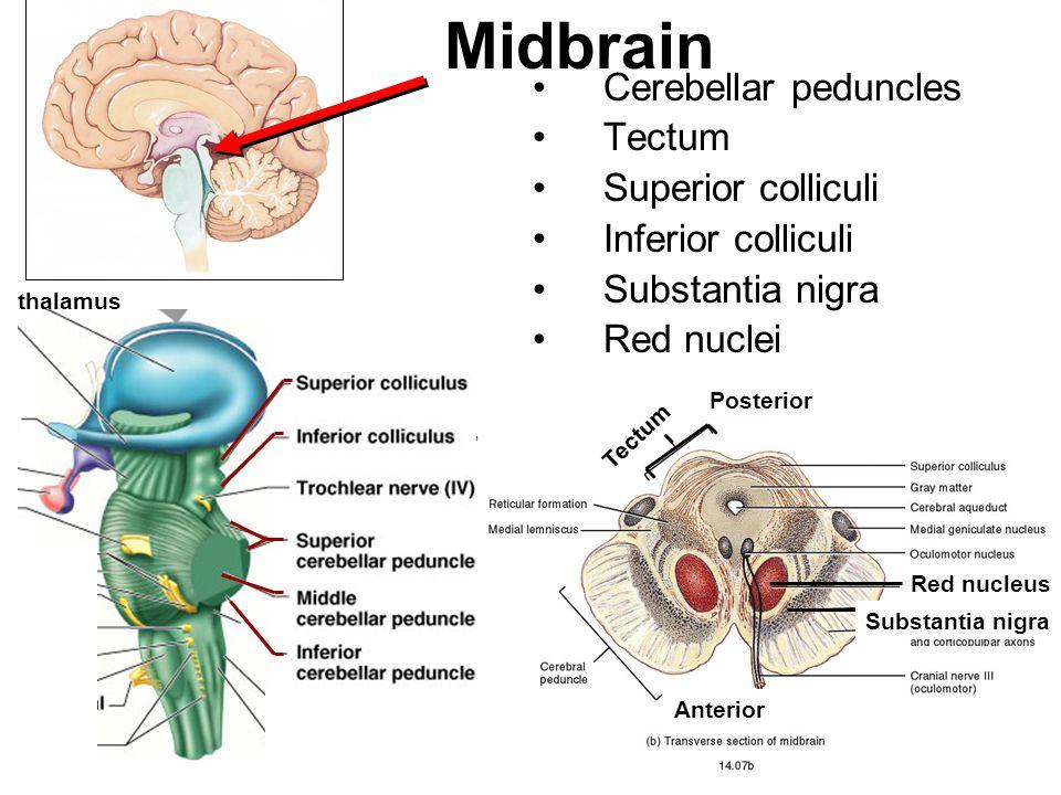 Midbrain Cerebellar peduncles Tectum Superior colliculi