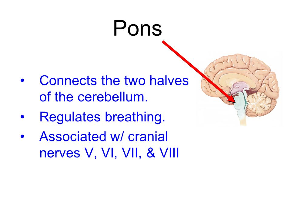 Pons Connects the two halves of the cerebellum. Regulates breathing.