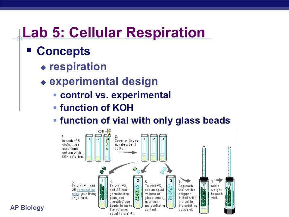 lab 6 cellular respiration Ap biology lab 5 - cellular respiration paul andersen explains how a respirometer can be used to measure the respiration rate in peas, germinating peas and the worm.