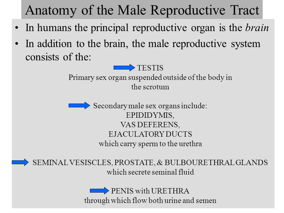 Anatomy of the Male Reproductive Tract
