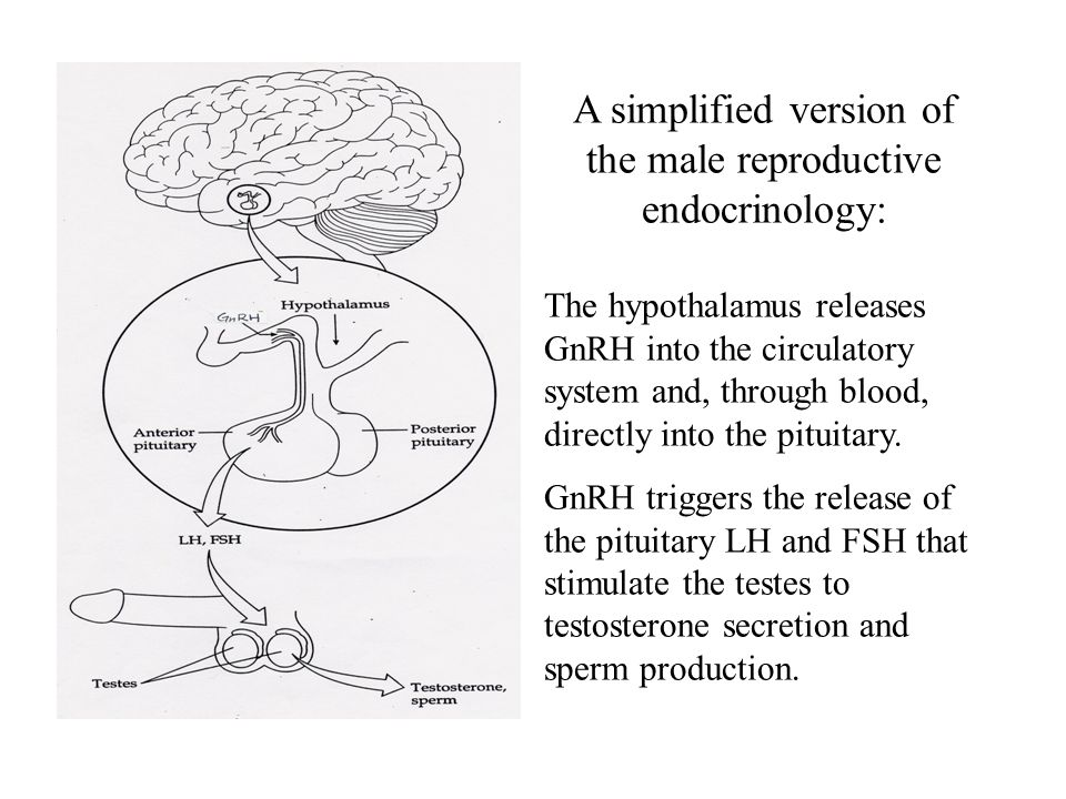 A simplified version of the male reproductive endocrinology: