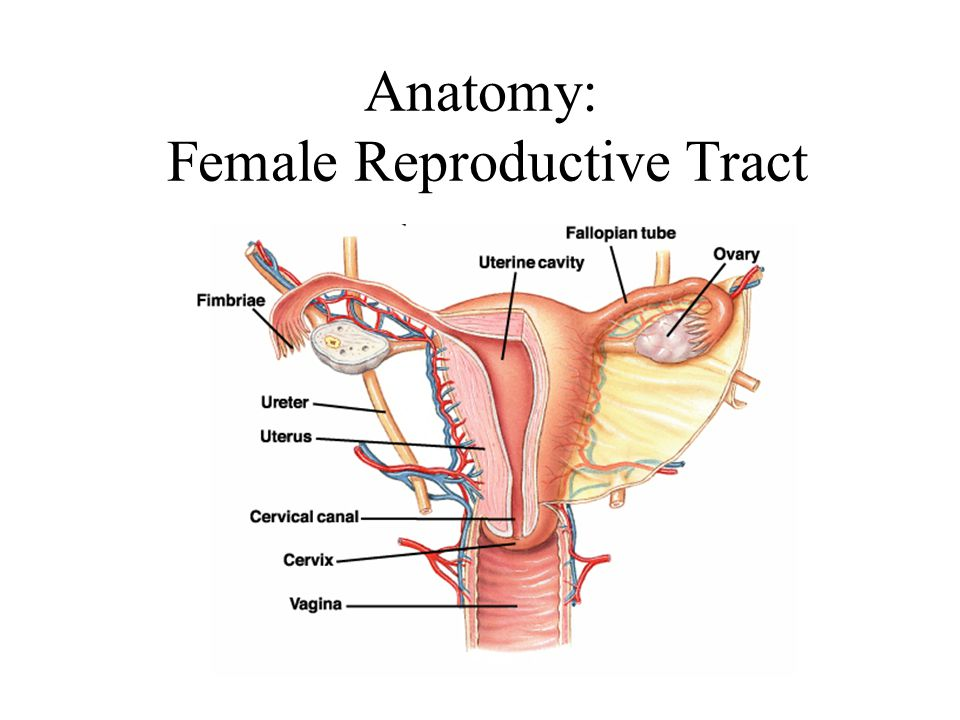 Anatomy of the female