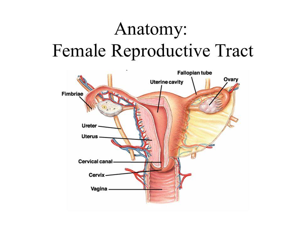 Anatomy: Female Reproductive Tract