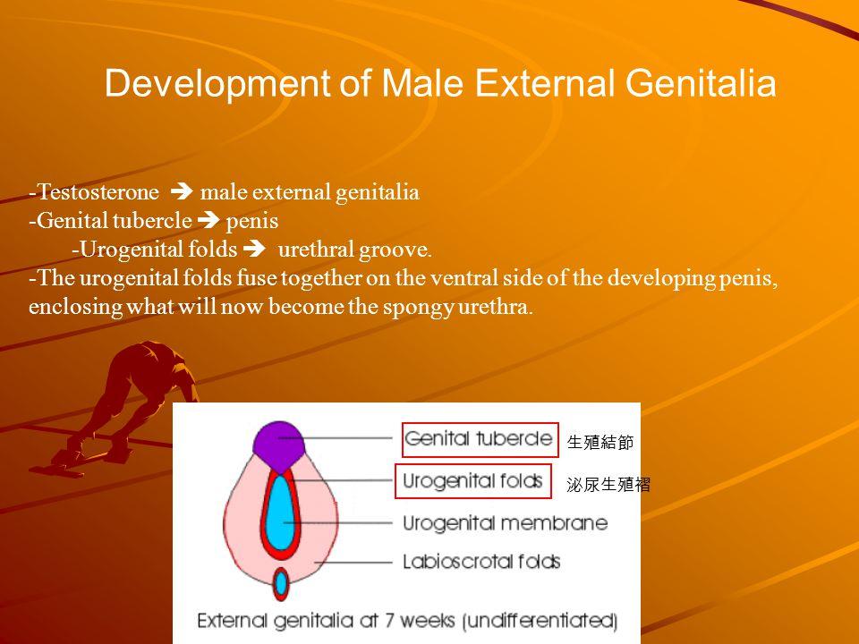 Male external genitalia anatomy - photo#41