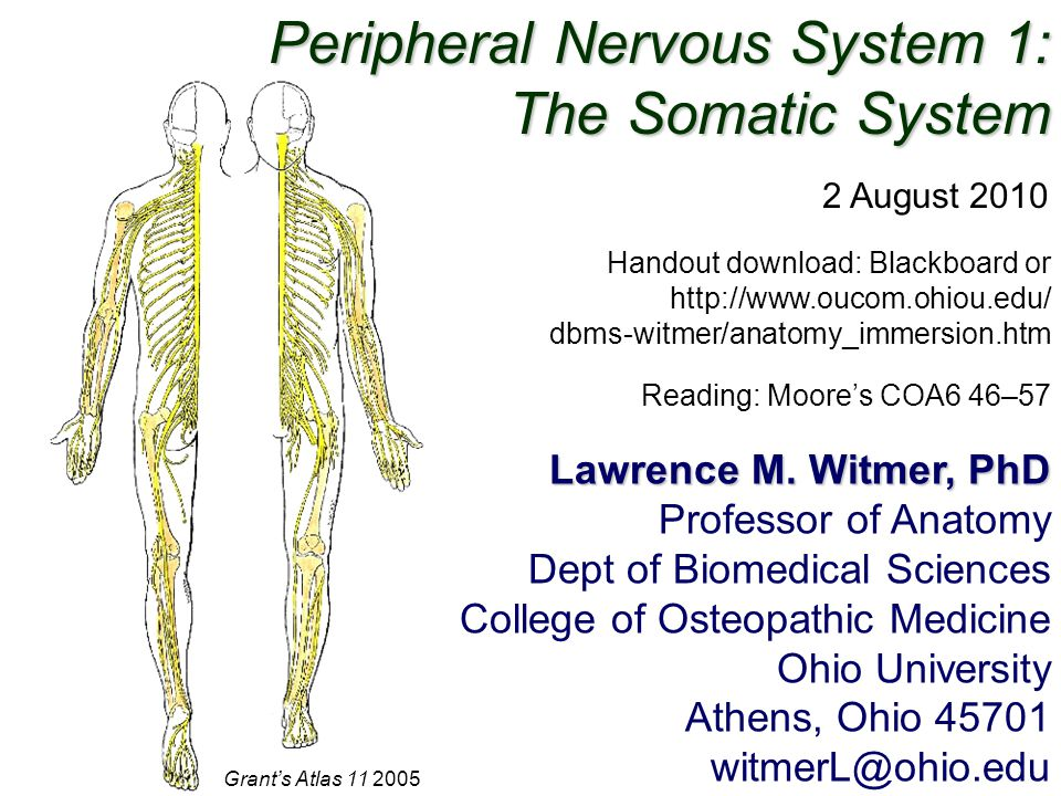 Peripheral Nervous System 1: The Somatic System - ppt video online ...