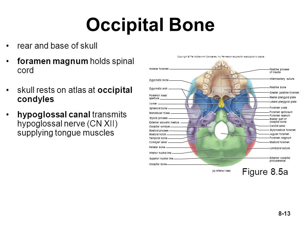 Occipital Bone Figure 8.5a rear and base of skull