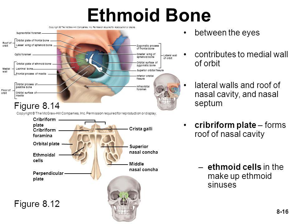Ethmoid Bone Figure 8.14 Figure 8.12 between the eyes