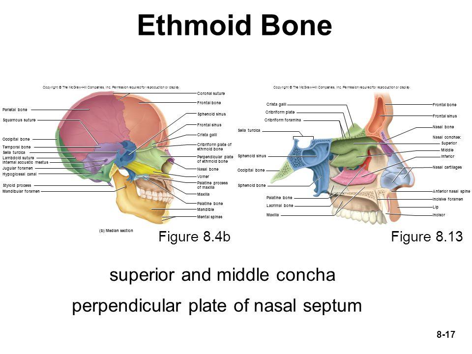 Ethmoid Bone superior and middle concha