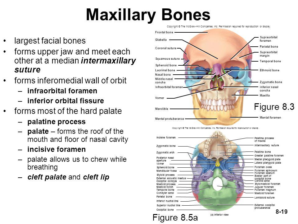 Maxillary Bones Figure 8.3 Figure 8.5a largest facial bones