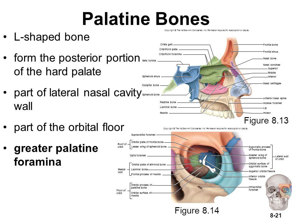 Palatine Bones L-shaped bone