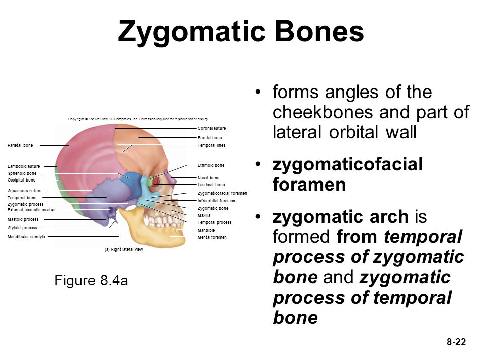 Zygomatic Bones forms angles of the cheekbones and part of lateral orbital wall. zygomaticofacial foramen.