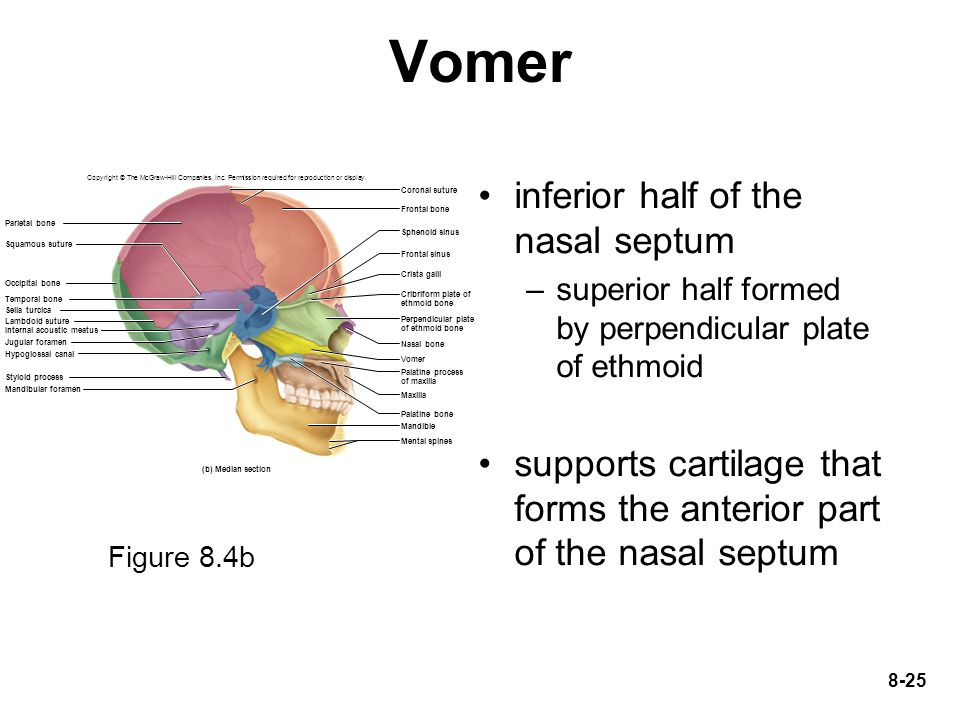 Vomer inferior half of the nasal septum