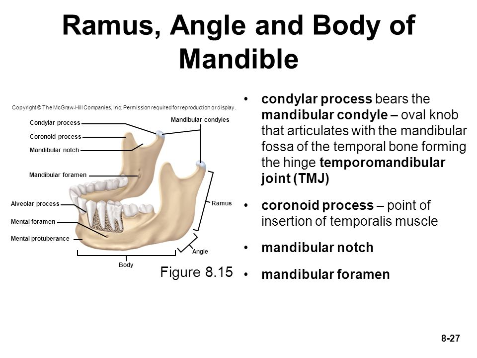 Ramus, Angle and Body of Mandible
