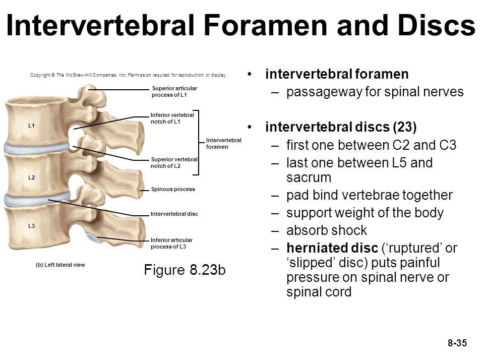 Intervertebral Foramen and Discs